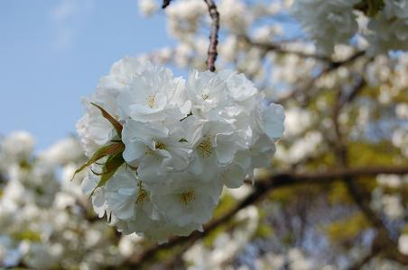 sakura_f0085219_21445270.jpg
