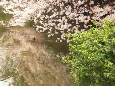 お花見三昧。_a0026127_1874951.jpg