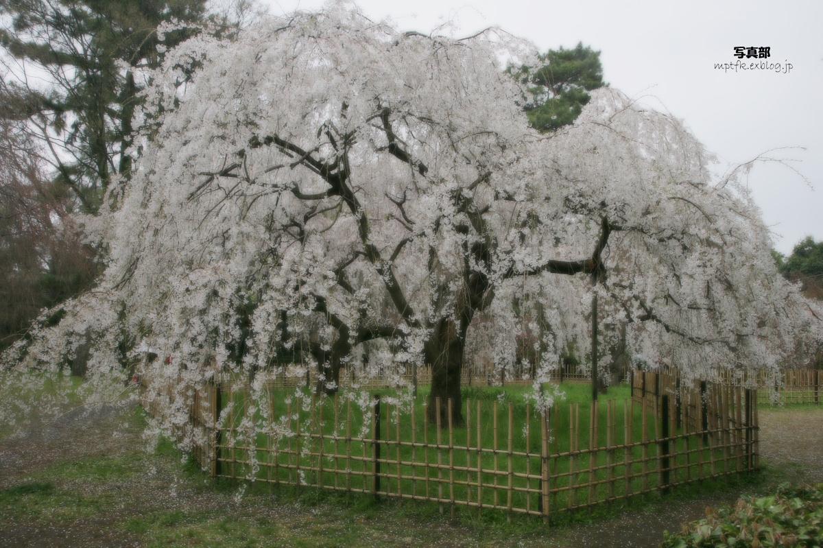 京都御苑 桜_f0021869_23312116.jpg