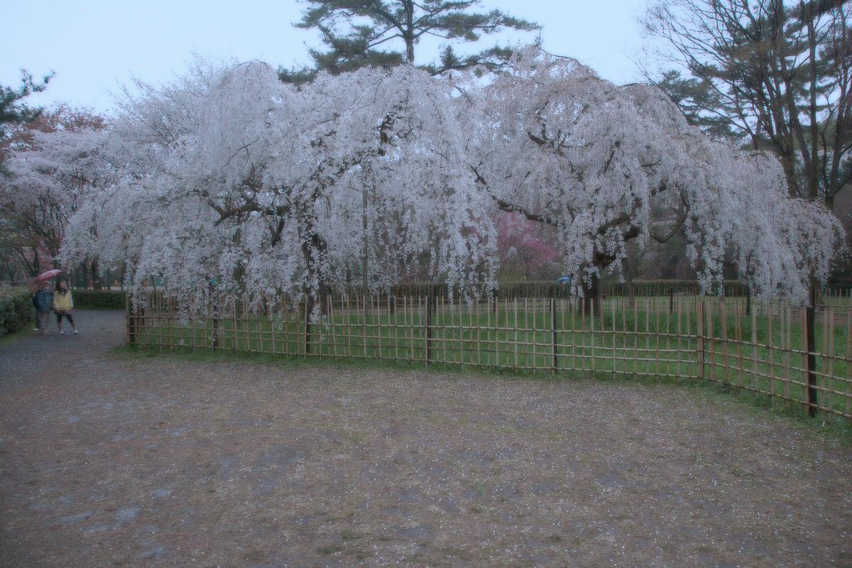京都御苑 桜_f0021869_233318.jpg
