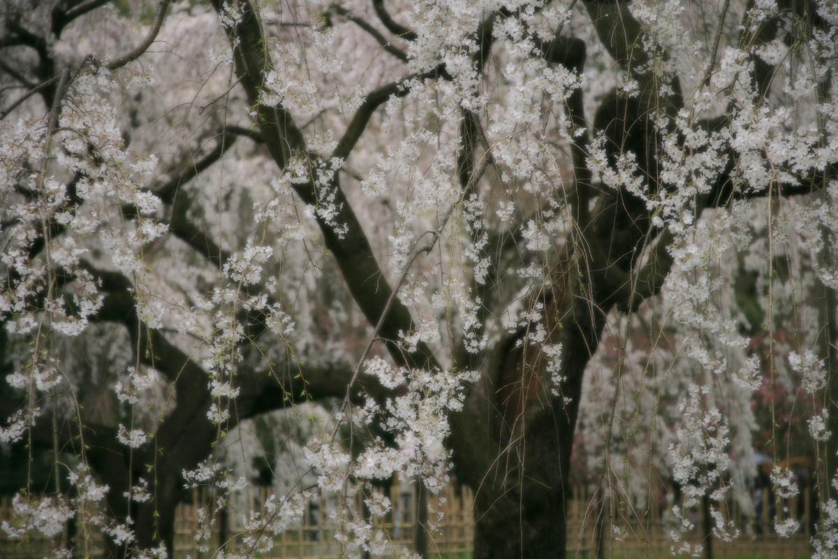 京都御苑 桜_f0021869_23334213.jpg