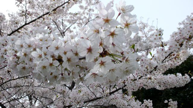 今日もお花見です。_f0143269_9185585.jpg