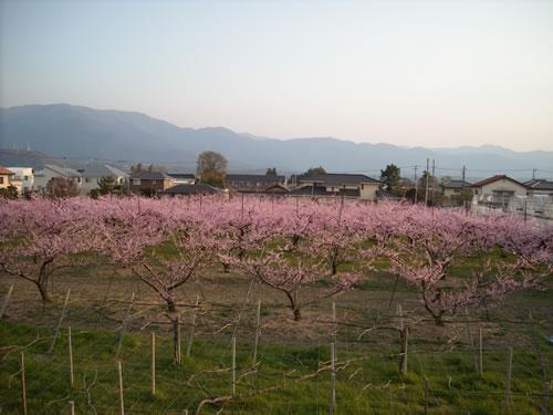 ( ´∀`)ピンクの花の正体_d0133770_1724815.jpg