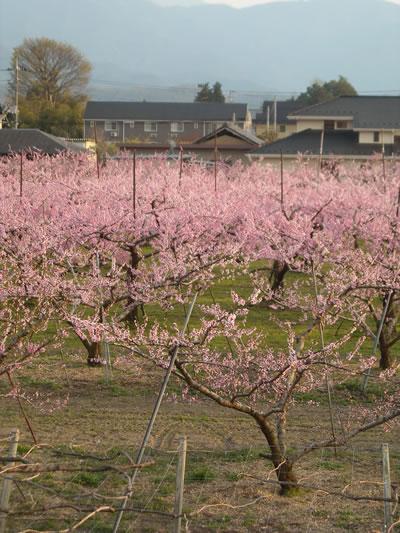 ( ´∀`)ピンクの花の正体_d0133770_17312515.jpg