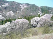 ご近所の櫻 (2)  ~美しき里山のエドヒガン~_b0102572_17101528.jpg