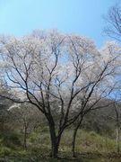 ご近所の櫻 (2)  ~美しき里山のエドヒガン~_b0102572_17263060.jpg