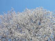 ご近所の櫻 (2)  ~美しき里山のエドヒガン~_b0102572_1727129.jpg