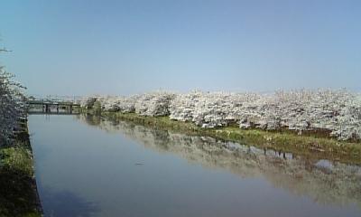 桜_e0040673_1502350.jpg