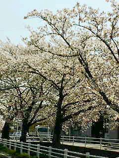 お花見_a0059281_1438944.jpg