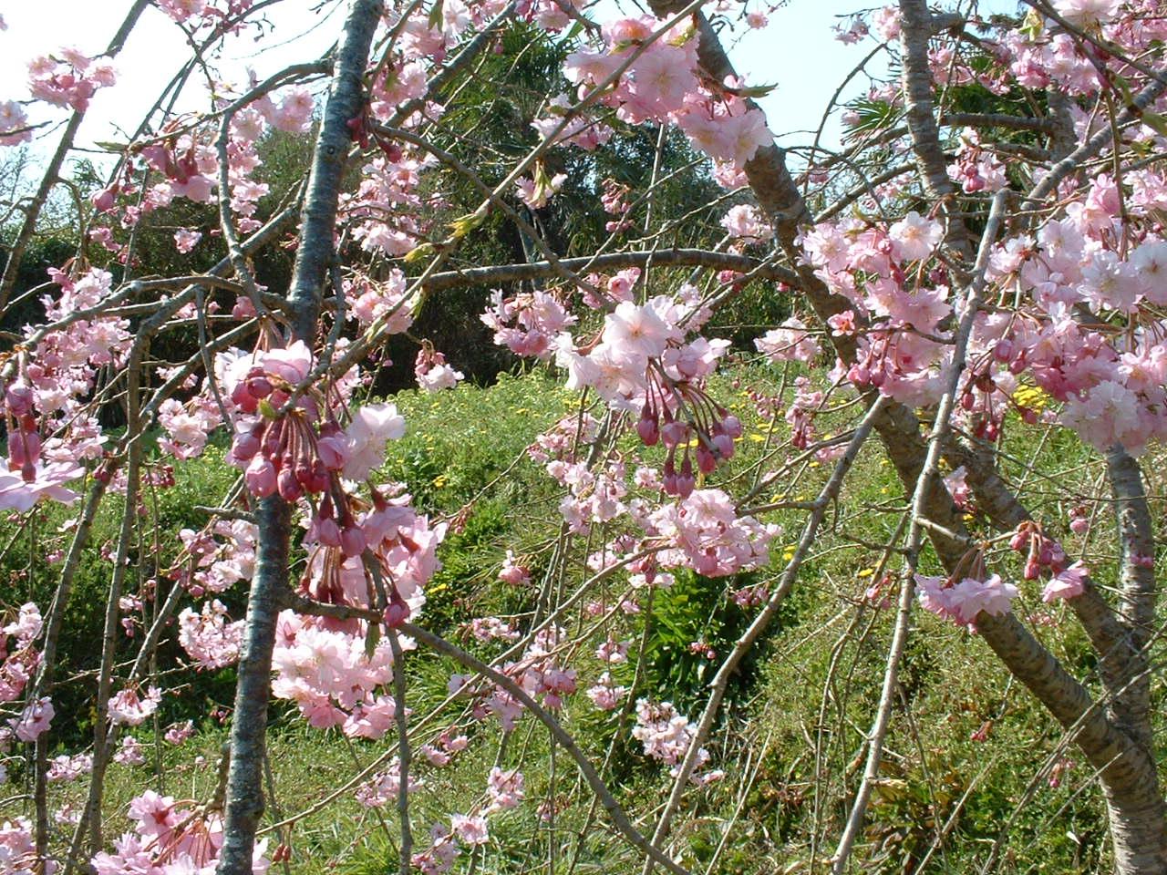桜 パートⅡ_c0165589_1459253.jpg