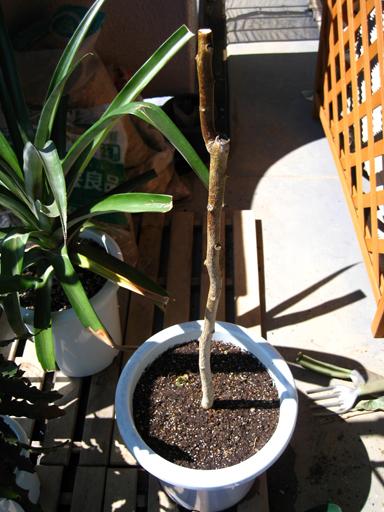 タマリロの植え&剪定完了!