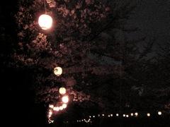 夜桜_b0080104_19361877.jpg