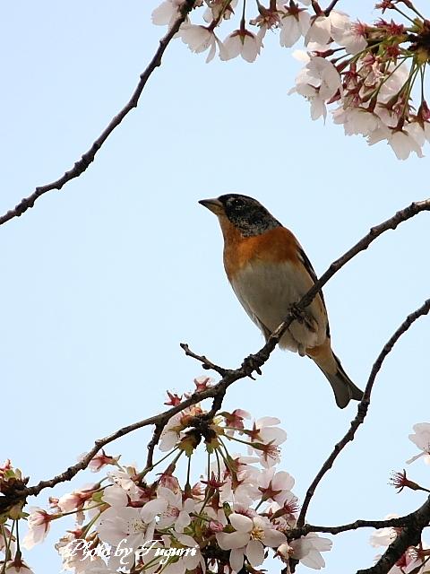桜花の中に アッ鳥_f0037633_18395638.jpg
