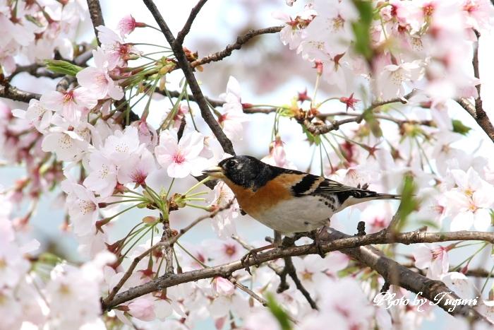 桜花の中に アッ鳥_f0037633_1840899.jpg