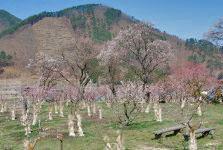 春~到来・千曲市/あんずの里_c0094442_1011784.jpg