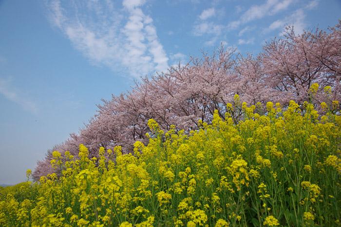 桜を追って_a0003746_17471210.jpg