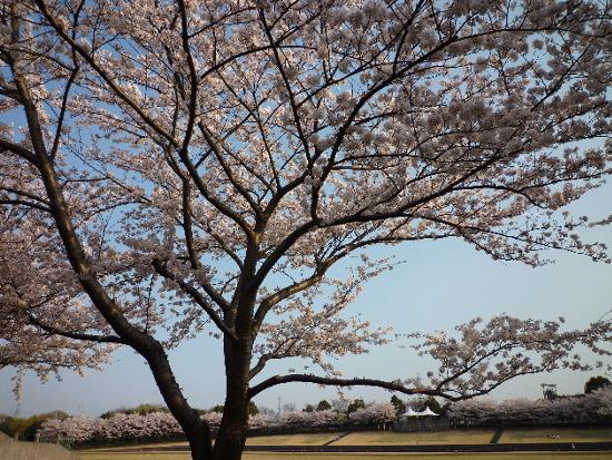 今日も桜…_b0093660_20172731.jpg