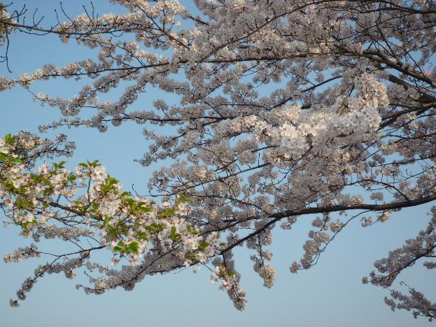 今日も桜…_b0093660_20183421.jpg
