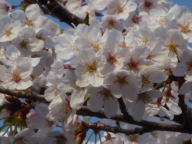 今日も桜…_b0093660_20191991.jpg
