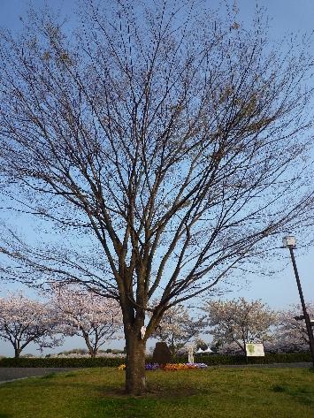 今日も桜…_b0093660_20224959.jpg