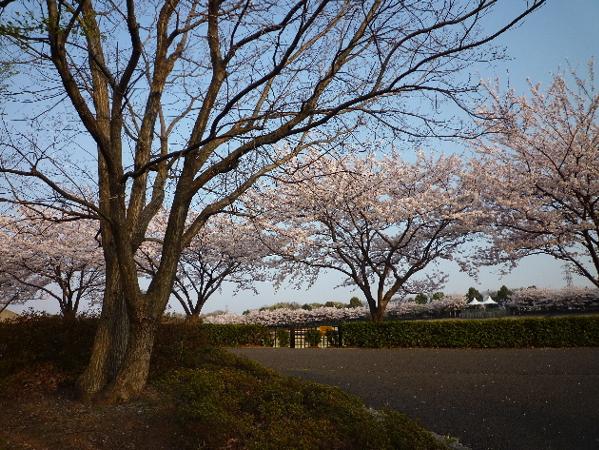 今日も桜…_b0093660_20365940.jpg