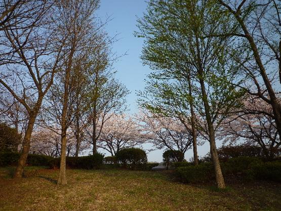 今日も桜…_b0093660_2036599.jpg