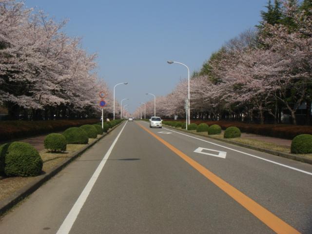 つくば農林研究団地の桜並木_b0124462_2247341.jpg