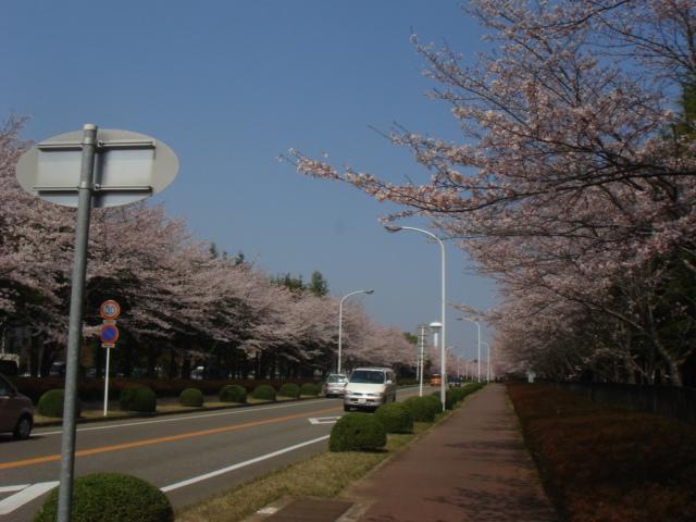 つくば農林研究団地の桜並木_b0124462_2249384.jpg