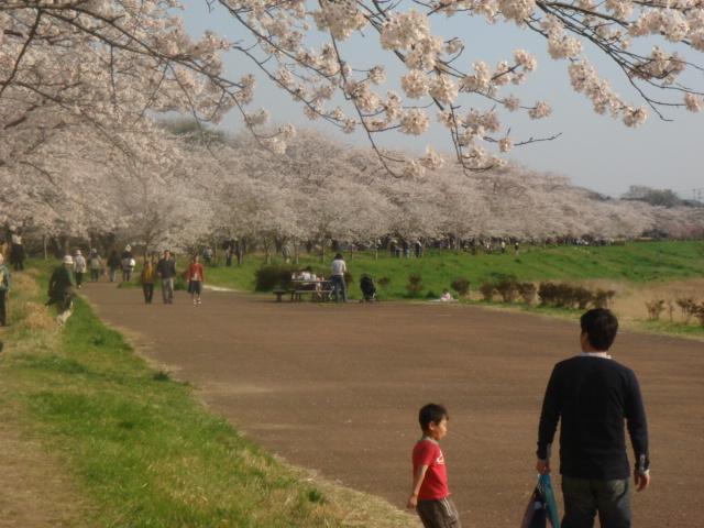 つくば農林研究団地の桜並木_b0124462_22514179.jpg