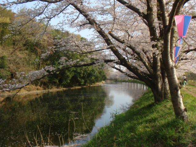 つくば農林研究団地の桜並木_b0124462_2303612.jpg