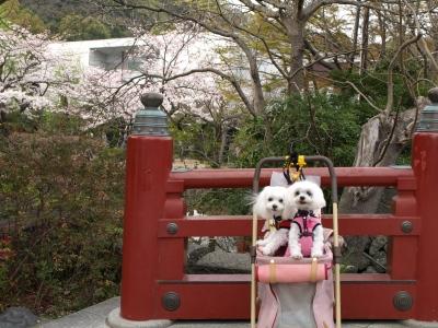 カリとエンジェル鎌倉でお花見&初詣(遅!)パート2_b0001465_14373574.jpg