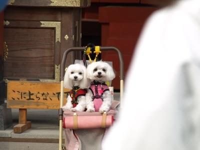 カリとエンジェル鎌倉でお花見&初詣(遅!)パート2_b0001465_14493317.jpg