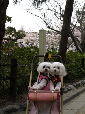 カリとエンジェル鎌倉でお花見&初詣(遅!)パート2_b0001465_15241072.jpg