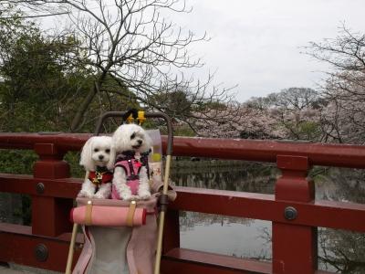 カリとエンジェル鎌倉でお花見&初詣(遅!)パート2_b0001465_15393062.jpg