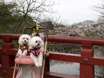 カリとエンジェル鎌倉でお花見&初詣(遅!)パート2_b0001465_15401217.jpg