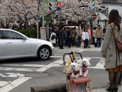 カリとエンジェル鎌倉でお花見&初詣(遅!)パート2_b0001465_1542497.jpg
