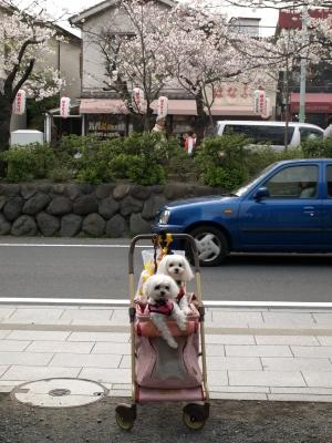 カリとエンジェル鎌倉でお花見&初詣(遅!)パート2_b0001465_15441410.jpg