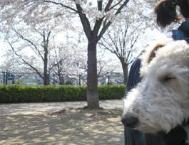 お花見with犬たち_e0055098_535254.jpg