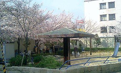 桜満開_d0013202_16433849.jpg