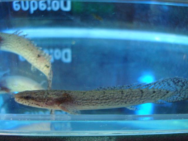熱帯魚・金魚・日本産淡水魚・水草 _f0189122_15452756.jpg