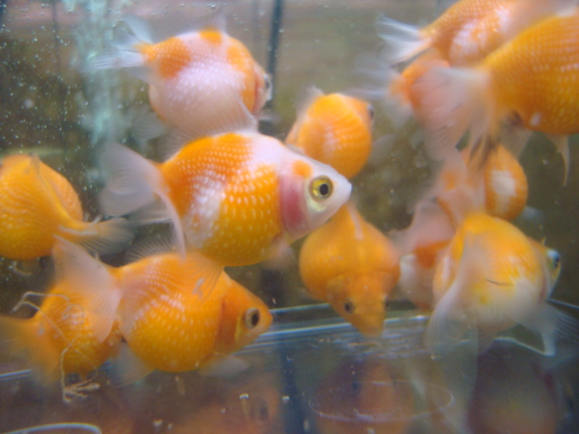 熱帯魚・金魚・日本産淡水魚・水草 _f0189122_15503578.jpg