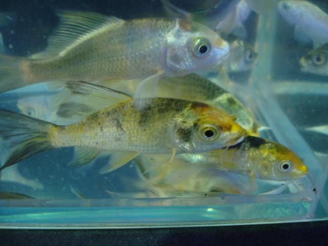 熱帯魚・金魚・日本産淡水魚・水草 _f0189122_15511815.jpg