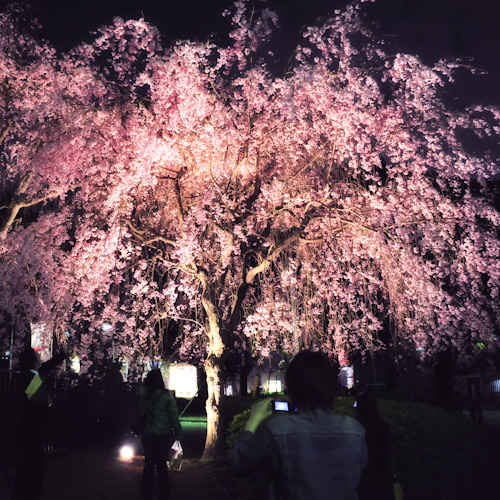 Cherry Moment  <DAY 6 桜酔いの友>_a0113732_1371422.jpg