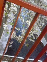 桜舞い散る_f0137346_1695363.jpg