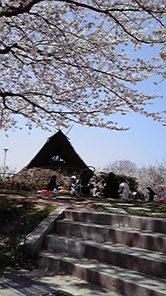桜が満開です_f0079749_12161493.jpg