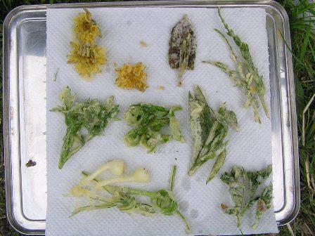 野草の天ぷらを作って食べよう!!_c0120851_8473452.jpg