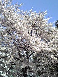 桜~満開♪_d0118053_15182090.jpg
