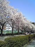 桜~満開♪_d0118053_1518476.jpg