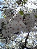 桜~満開♪_d0118053_15421880.jpg