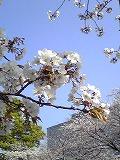 桜~満開♪_d0118053_15423019.jpg